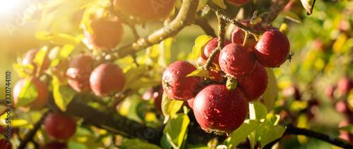 Fototapeta Apple trees on an organic fruit farm obraz