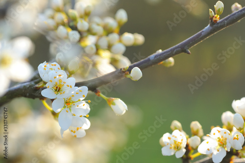 Photo Beautiful blossoms of the blackthorn/sloe just days before spring with nice soft