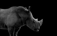 Rhino With Black Background