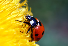Red Ladybird Isolated On A Yel...