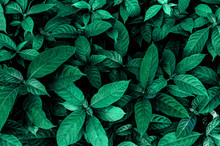 Green Leaves Wall Texture Of T...