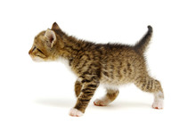 Small Brown Kitten Isolated On...