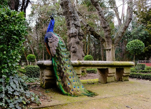 Fotografia peacock sitting in a bench of an urban park