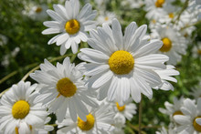 Close Up Of Blooming Oxeye Daisies (Leucanthemum Vulgare) In Summer Field, In Finland.