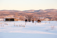 Three Beautiful Brown Horses I...