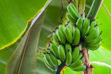 Bunch Of Green Bananas (Musa A...