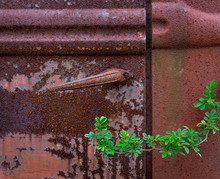 Branch Of Multiflora Rose (Rosa Multiflora) Encroaching On Rusted Door Of Olod Truck. 10This Invasive Species Can Envelop Old Abandoned Vehicles And Buildings.