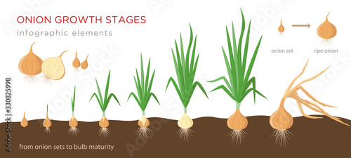 Onion plant growing stages from onion sets to ripe onion - second year development of onion seeds - set of botanical detailed infographic elements, vector illustrations isolated on white background Canvas Print