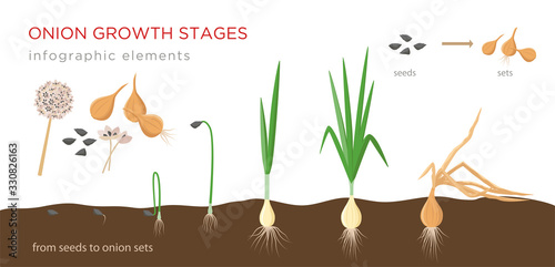 Onion plant growing stages from seeds to onion sets - first year development of onion seeds - set of botanical detailed infographic elements, vector illustrations isolated on white background Canvas Print