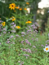 Black Eyed Susan, Oregano, Herbs, Wildflowers