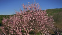 Sakura Buds Opened Into Beautiful Flowers At The Foot Of Mount Fuji Cherry Tree Delicate Buds And Petals Of Beautiful Pink Flowers On The Background Of The Volcano  Drone Shot 4K