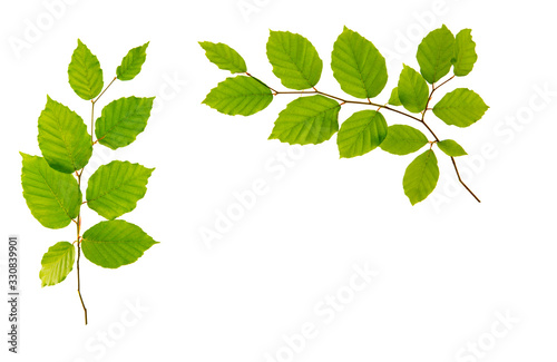 Fototapeta Green leaves isolated on white background. obraz
