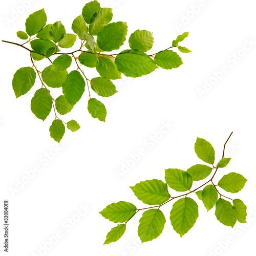 Fotografie, Obraz Green leaves isolated on white background.