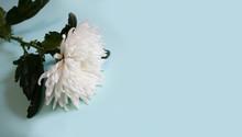 White Chrysanthemum On Blue Ba...