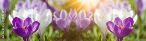 Obraz na plátně Spring awakening - Blossoming purple white crocuses on a green meadow illuminate