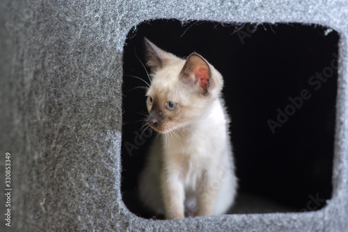 Fototapeta Curious Thai kitten peeks out of a house on a cat's play complex.