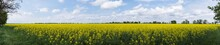 Panoramic View. Beautiful Rural Landscape. Alfalfa Yellow Field On Blue Sky With White Clouds Background