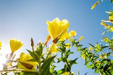 Flores Amarillas (Oenothera Fr...