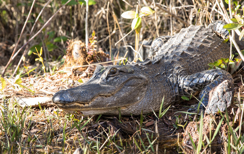 Wild American alligator (alligator mississippiensis) in the Okefenokee swamp of Georgia, USA Canvas Print
