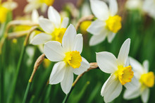 Beautiful Daffodil Flowers Gro...