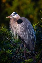 Great Blue Heron Nesting