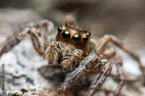 Close up the Brown Jumping spider sticks on the tree branch Canvas Print