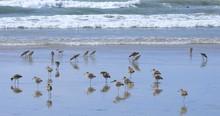 Flock Of Willets, Tringa Semip...