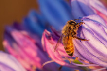 Honey Bee Resting On An Agapanthus Flower In The Early Morning Light