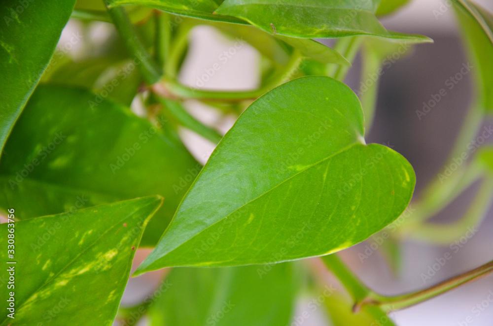 Fototapeta Green leaves