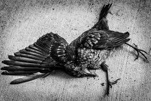 Black And White Image Of Dead Bird Lying On Concrete