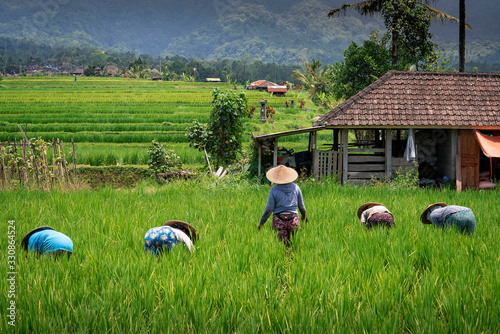 Women field workers with rice hats for protection from the hot sun labor in a rice paddies near Jatiluwih in Bali, Indonesia Fototapeta