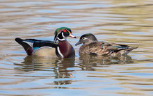 Wood Duck Pair Swimming In The...