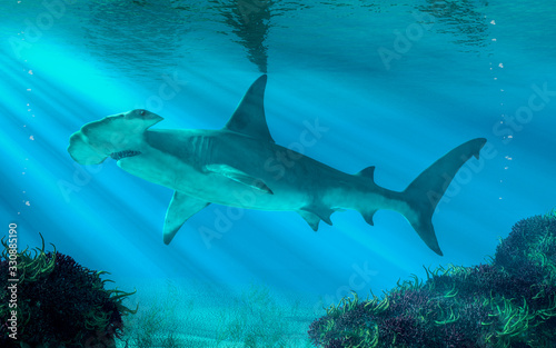Obraz In this undersea scene, a hammerhead shark swims by you.  Beware this aquatic predator. 3D illustration - fototapety do salonu