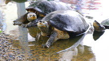 Turtle In The Water Pond