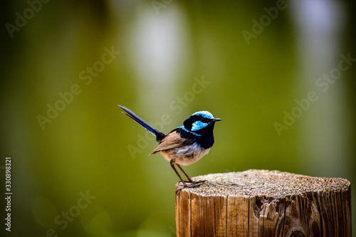 Valokuvatapetti Superb Fairy Wren on Stump