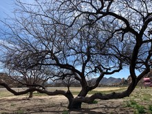 Big And Old Mesquite Tree Agai...