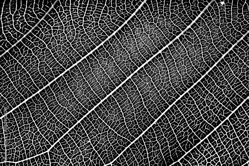 Fototapeta nature plat leaf veins texture. black and white surface of high detail of macro on plant leaves with grunge dust noise grain effect abstract for background.
