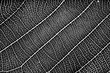 nature plat leaf veins texture. black and white surface of high detail of macro on plant leaves with grunge dust noise grain effect abstract for background.