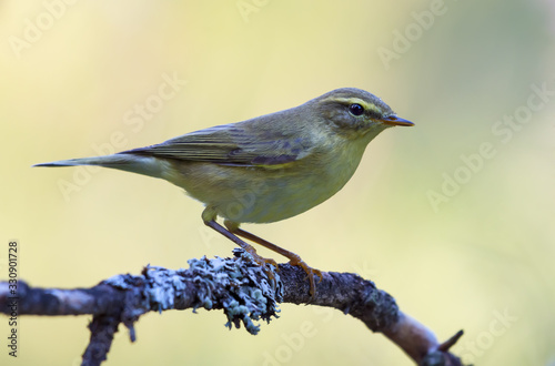 Leinwand Poster Willow warbler (phylloscopus trochilus) perched on dense covered lichen branch i