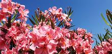 Panorama Pink Nerium Or Nerium...
