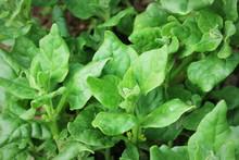 Tetragonia Tetragonioides, New Zealand Spinach Growing In Garden