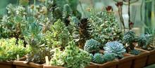 Seedlings Of Succulents In Gre...