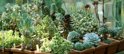Obraz seedlings of succulents in greenhouse. various types Botanical collection of succulents.  - fototapety do salonu