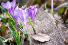 Crocus Flower In The Forest. B...