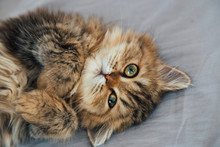 Portrait Of Cute Happy British Longhair Chinchilla Persian Kitten Cat Waking Up And Playing On The Cat Bed In The Bedroom And Looking To The Camera On Sunday Morning. Animal And Pet Lifestyle Concept.