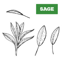 Sage Hand Drawn Vector Illustration. Isolated Sketch Of Sage Leaves. Engraved Illustration. Black And White.