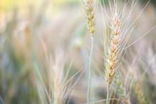 Barley Wheat Field Nature Back...