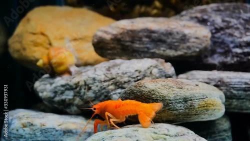 Cambarellus patzcuarensis orange crayfish in aquarium