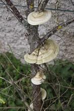 Circular Mushroom On A Peach Tree Trunk