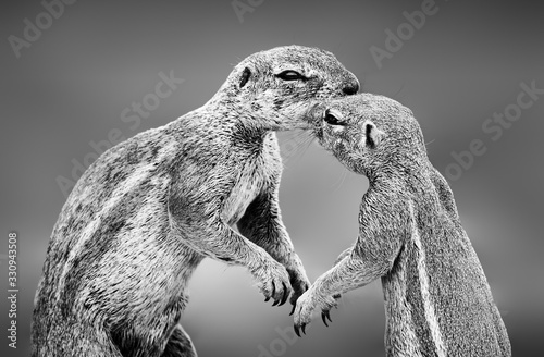 Ground squirrels having an affectionate moment in the Kgalagadi Wallpaper Mural